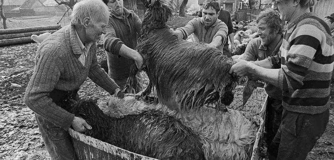 © Dan Dinescu, Ieud, îmbăiat oi, 1993.