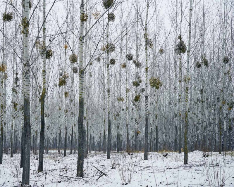 Forest with mistletoe (near Oradea), 2014 © Tamas Dezsö, Notes for an Epilogue
